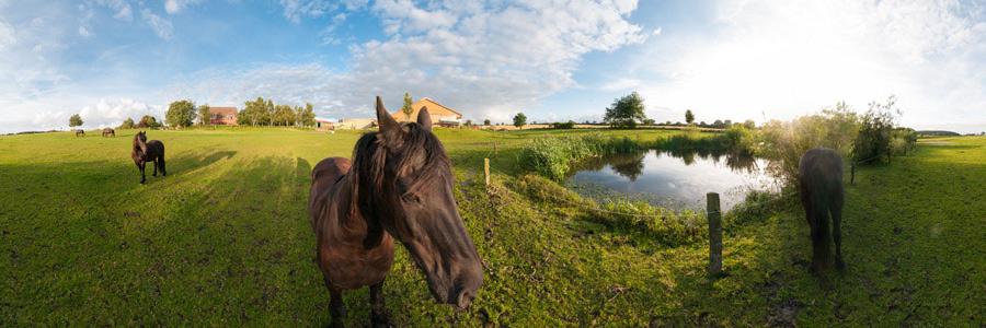 Friesen Pferde auf Hof Droegendiek